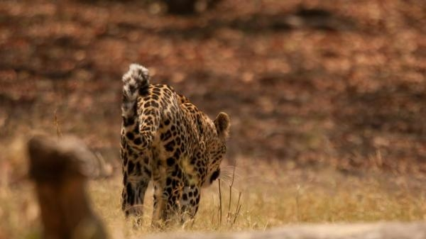 Sleduj online Přírodní svět Levharti z ostrova Dead Tree na Prima ZOOM!