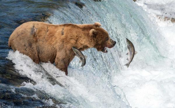 Sleduj online Přírodní svět Medvědi na Aljašce na !