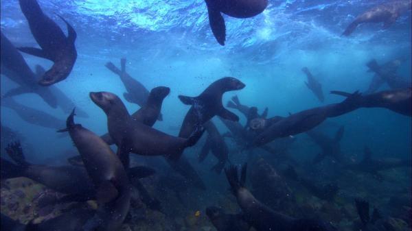 Sleduj online přírodní svět Tuleni: Cesta za přežitím na !