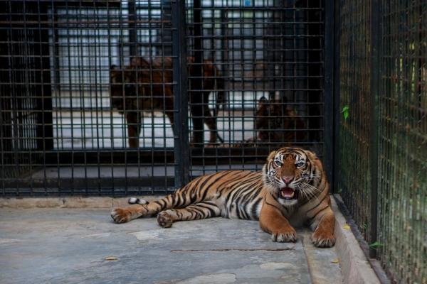 Sleduj online Přírodní svět Poslední tygři sumaterští na ČT2!