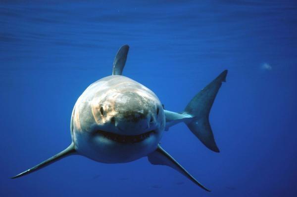 V říši bílého žraloka