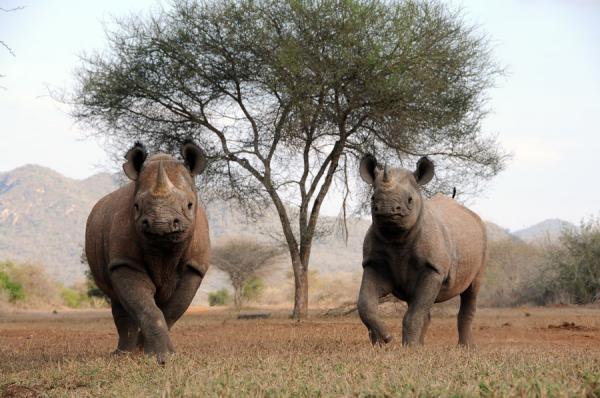 Sleduj online přírodní svět Nosorožec dvourohý na !