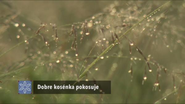 Sleduj online Folk & lidové Dobre kosénka pokosuje na !